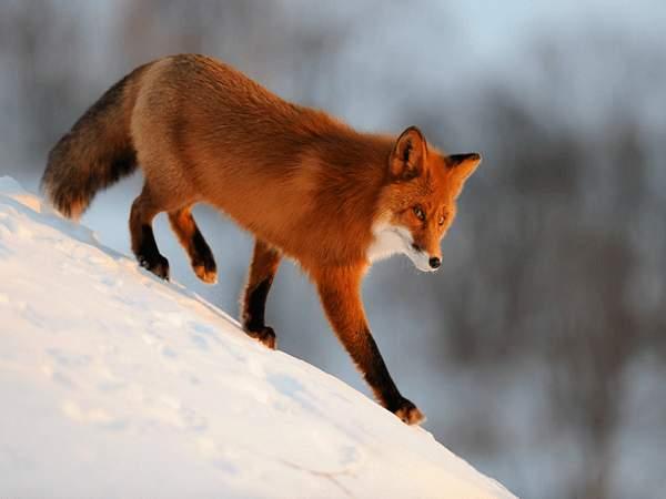 Nằm mơ thấy con cáo đánh con gì?